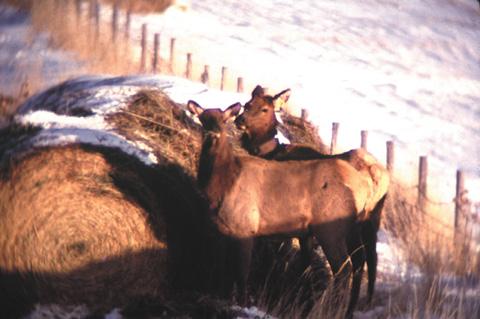 Elk eat from hay bales on Pine Ridge property in western Nebraska. Elk that eat livestock feed and damage private...