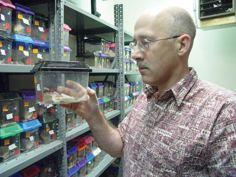 CRICKET CHECK - Bill Wagner, associate professor of biological sciences examines a male cricket in his Manter Hall lab. Wagner has...